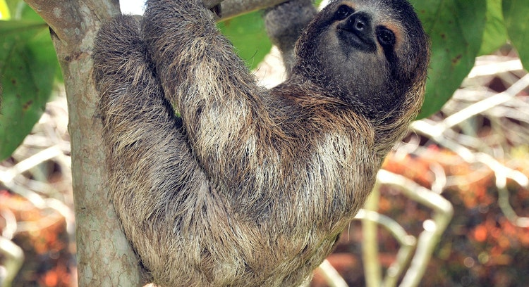 Perezoso en la selva centroamericana