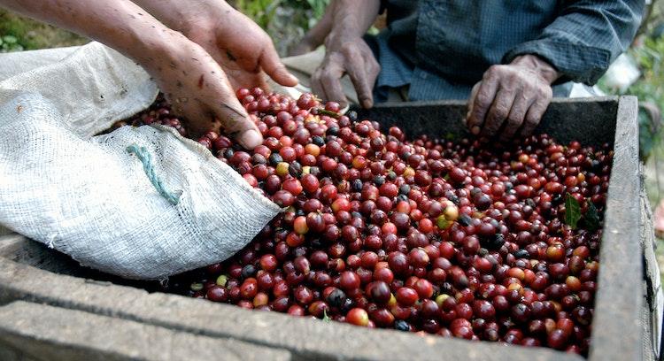 Granos de café recién cosechados