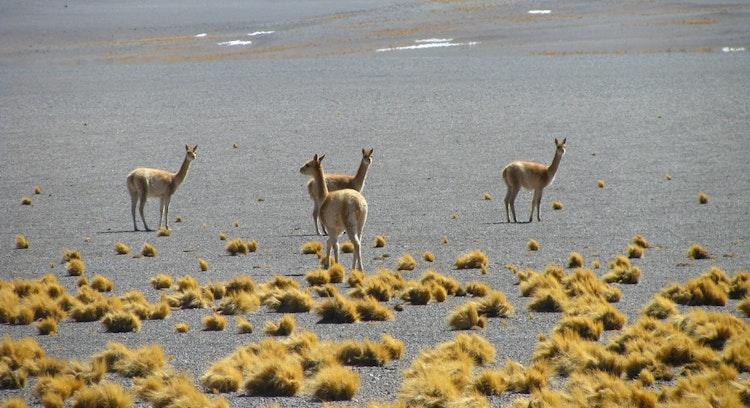 Guanacos en desierto de Atacama