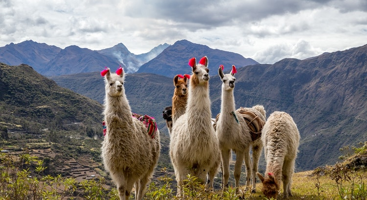 Lares Trek Animals