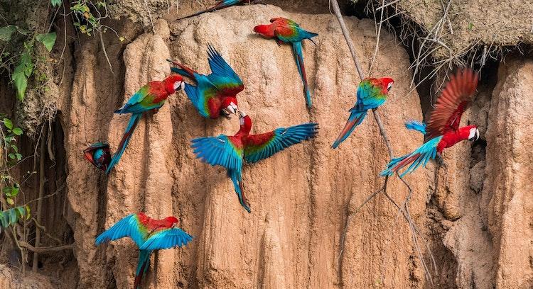 Papagaios em Parque Nacional Manu