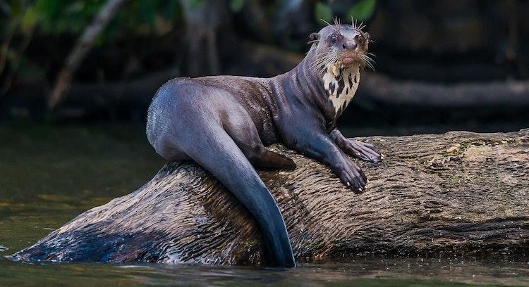 Vida salvagem em Parque Nacional Manu