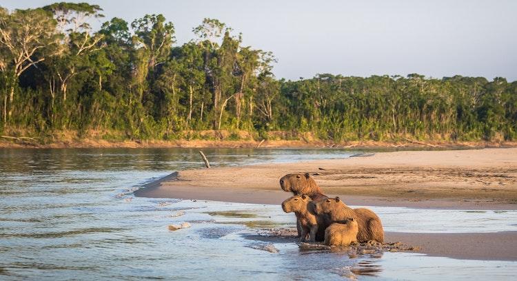 Animais em Parque Nacional Manu