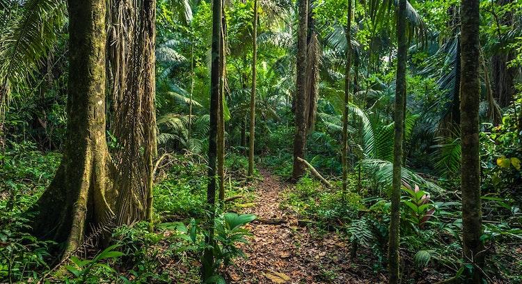 Floresta em Parque Nacional Manu