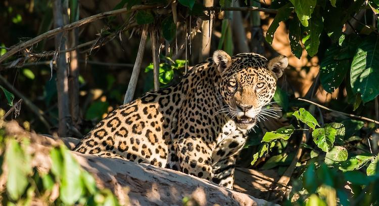 Leopardo en Parque Nacional Manu