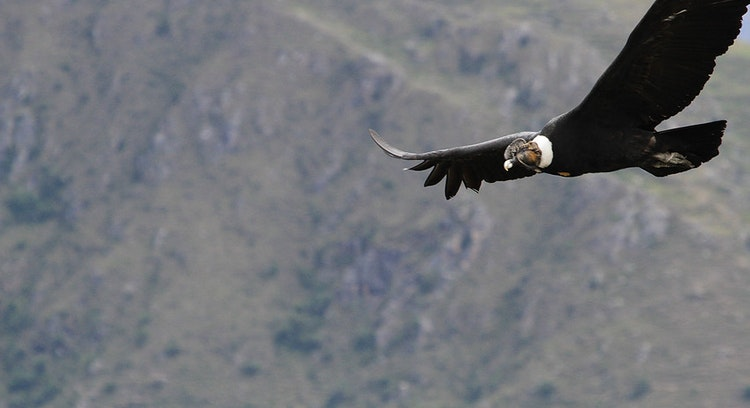 Condor no Cânion do Apurímac