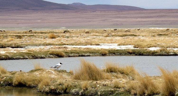 Pájaro en Salar de Huasco