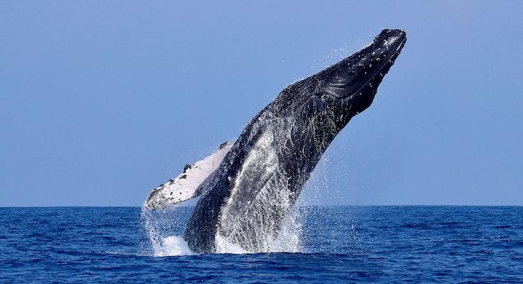 Baleia-corcunda Chañaral de Aceituno
