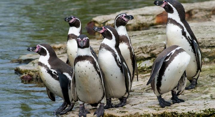 Pinguinos a la orilla del agua en La Serena