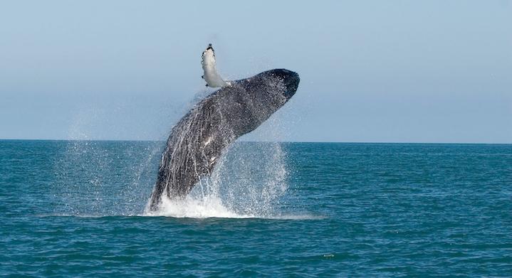 Avistamiento de Ballenas y Nado con Tortugas Premium