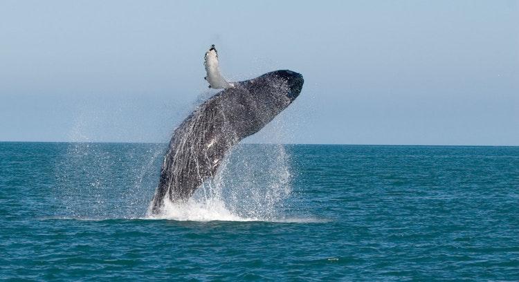 Observação de Baleias e Nado com Tartarugas Premium