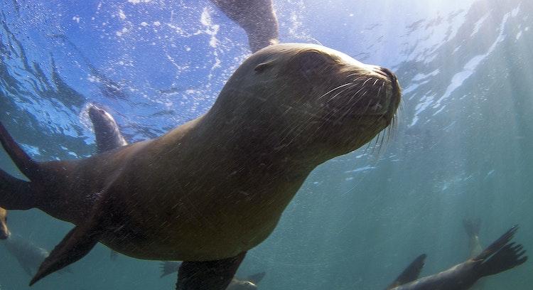 Snorkel Sea Lions
