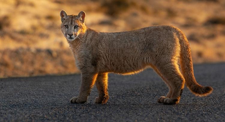 Busca de Pumas