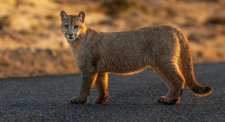 Búsqueda de Pumas
