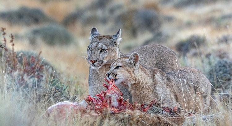 Pumas comiendo después de cazar
