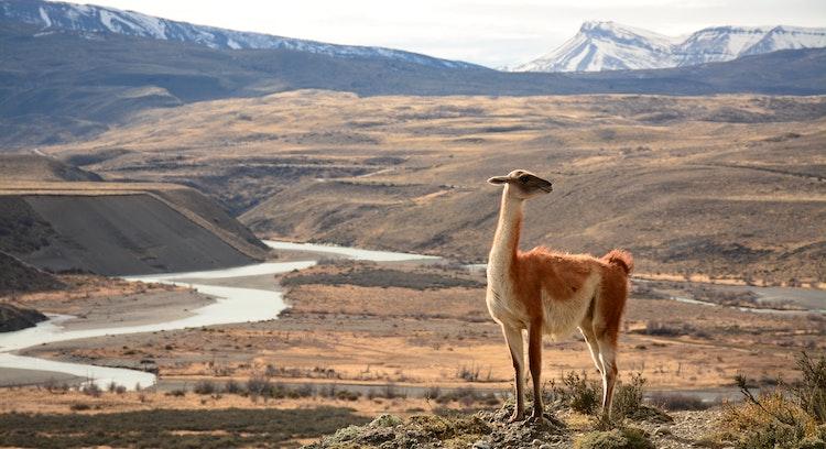 Guanaco en porterías Torres del Paine