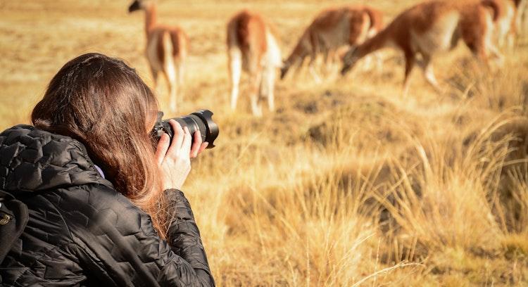 Tirando uma foto de um guanaco em Torres del Paine