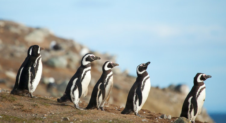 Pinguins de Puñihuil tour