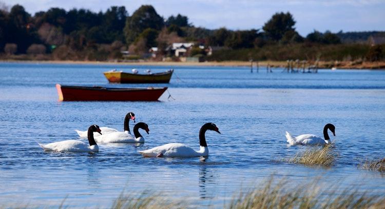 Cisnes em Caulín