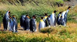 Full Day Tierra del Fuego: Pingüino Rey