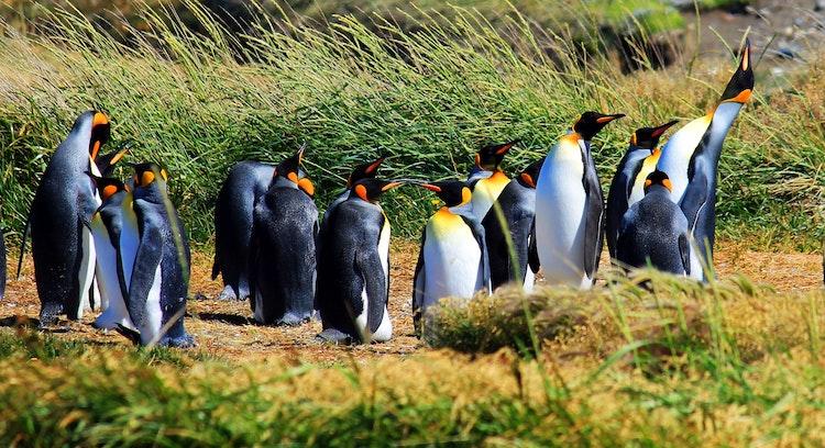 pinguins em Tierra del Fuego