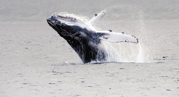 Avistamiento de ballena en Magallanes