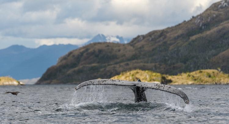 Cola de ballena en Magallanes