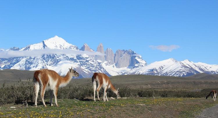 Guanacos en Torres del Paine