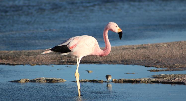 Flamingo at Atacama Salt Flat