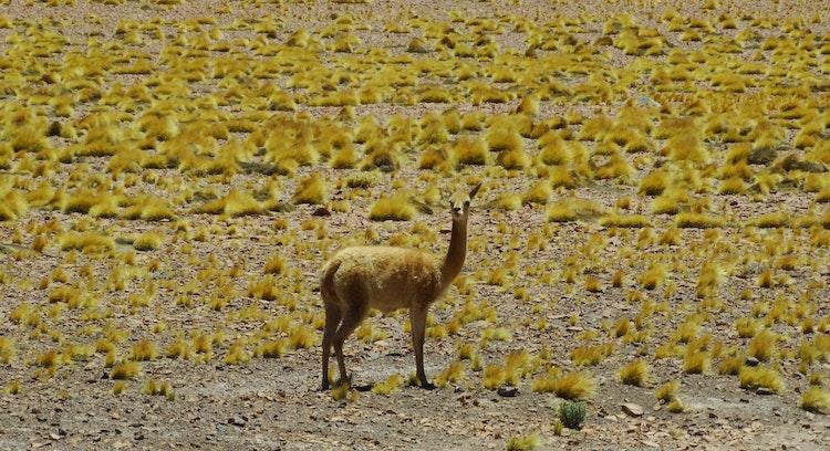 Fauna no deserto de Atacama