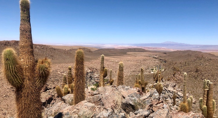 Cactus Desierto Atacama